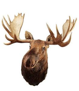 MASAI GALLERY - moose d'alaska - Cape Taxidermie