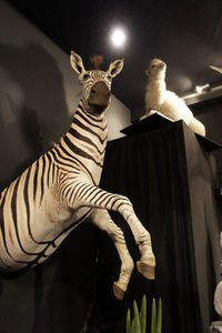 MASAI GALLERY - top-skin de zèbre - Animal Naturalisé