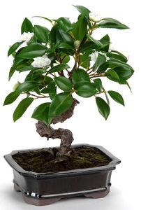 Amadeus - bonsaï camélia 35cm - Fleur Artificielle