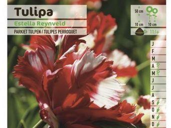 LES DOIGTS VERTS - bulbe tulipe perroquet estella rijnveld x10 - Bulbes De Fleurs