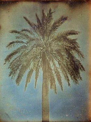 LINEATURE - Photographie-LINEATURE-Palmier, Athènes - 1842
