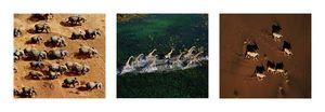 Nouvelles Images - affiche animaux vus du ciel - Plakat
