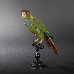 Expertissim - perroquet naturalisé - Ausgestopftes Tier