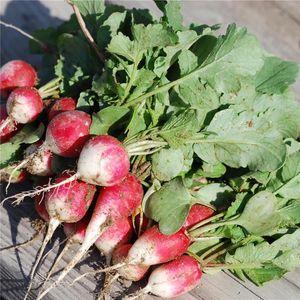 FERME DE SAINTE MARTHE - radis rond rose à bout blanc 2 ab - Saatgut