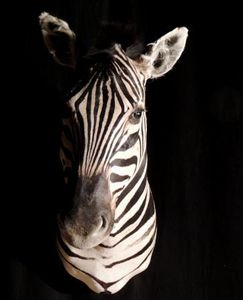 Galerie Luc Berthier -  - Animal Disecado