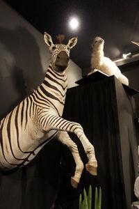 MASAI GALLERY - top-skin de zèbre - Animale Imbalsamato